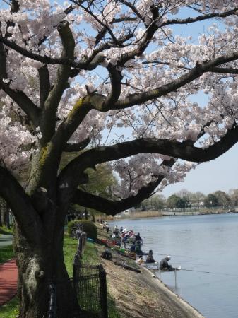 Kuki Shobu Park: 桜よりも、釣りに夢中なおっちゃん達|( ̄3 ̄)|
