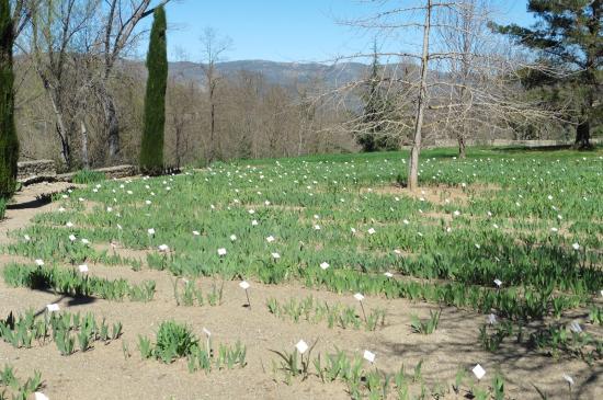 Saint-Michel-de-Cuxa : champ d' Iris