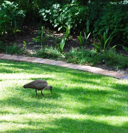 SunSquare Cape Town Gardens: Ibis in the hotel's garden