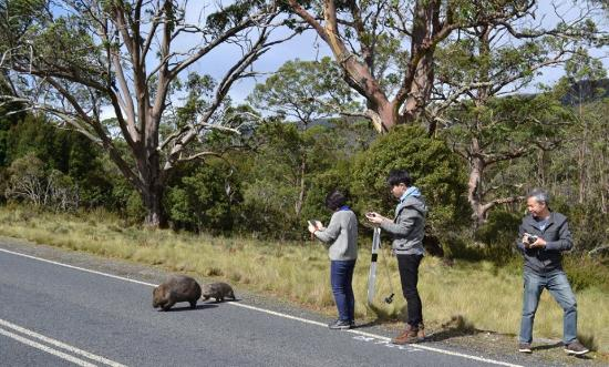 Tasmania I Drive: Lucky to see Wombats at Cradle Mountain