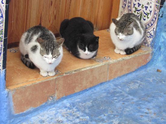 Dar Meziana: gato
