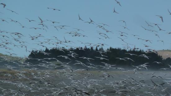 Kaikoura Peketa Beach Holiday Park: Seabirds off Peketa Beach