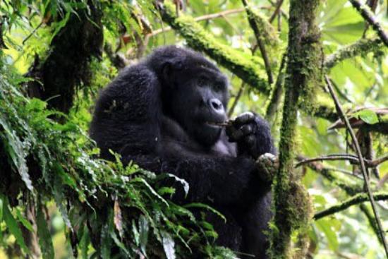 Travel Explore Africa - Day Tours : Ugandan Gorilla