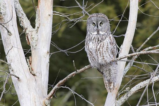 Hole Hiking Experience: Great Grey Owl