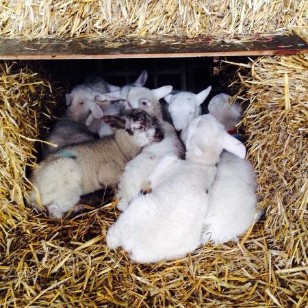 Colemans Farm Park: Pit of lamb