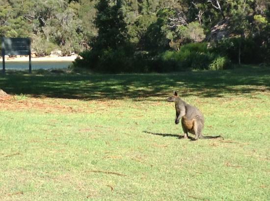 Pittwater, Australia: Wallaby