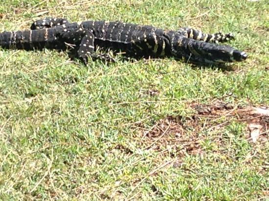 Pittwater, Australia: Lizard