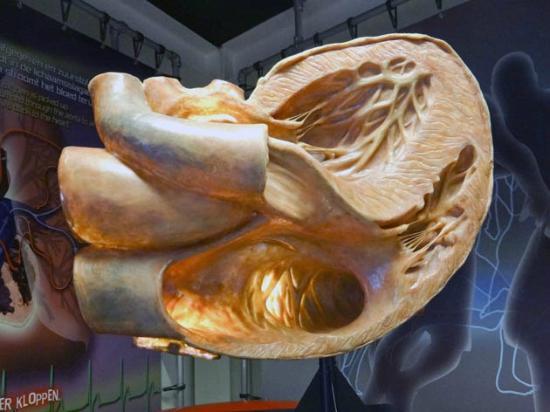 CORPUS 'journey through the human body': the heart