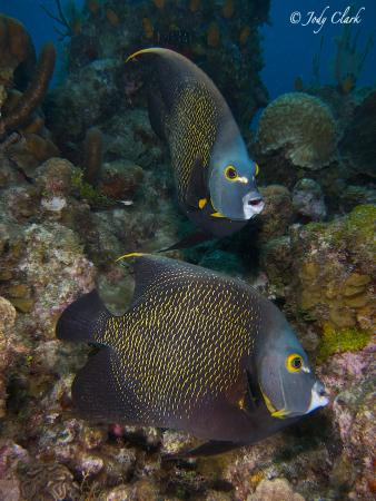 Roatan Divers: French angels - so beautiful as a pair