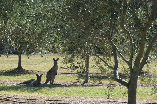 Blackwattle Luxury Retreats: Friendly Kangaroos - Visited every day!