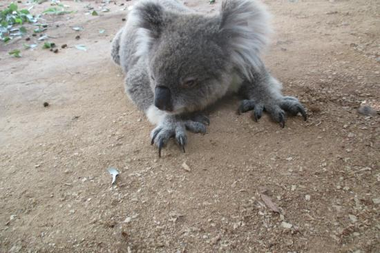 Gunnedah, Australië: One of the Koalas at Waterways Wildlife Park