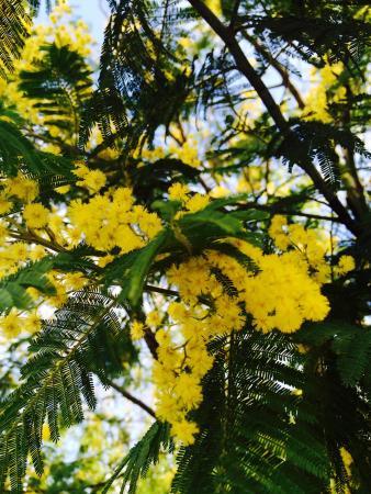 Paliano, Italië: Mimose