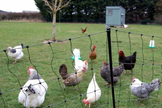 Fern Cottage Bed & Breakfast: Fresh eggs for breakfast!