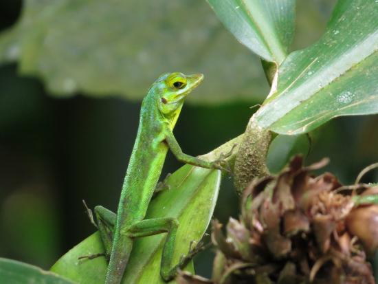 Seven Sisters Falls: A gecko ready for a photo