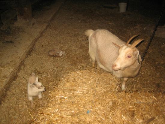 Verdant View Farm Bed and Breakfast: newborn goat
