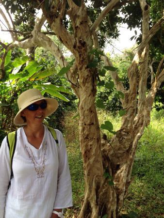 Laura's Herb & Spice Garden : Allspice tree, locally known as pimento.