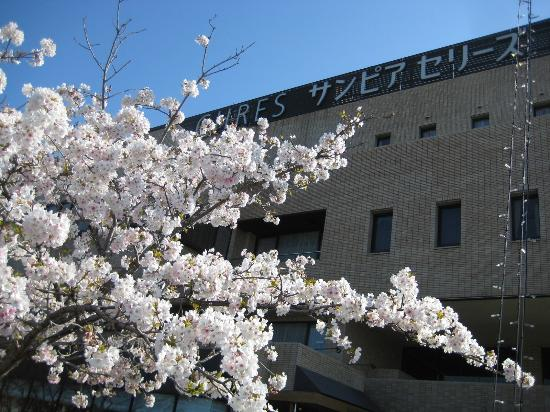 Sanpia Chres: 満開の桜3/28