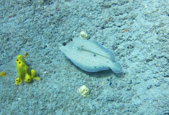 Saba Divers: Flounder crawling the bottom