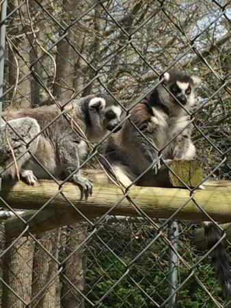 Coats, NC: Lemurs