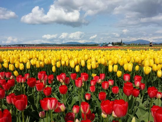 Shutter Tours - Day Tours: Tulip Time