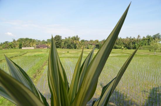 Villa Kaba Kaba Resort Bali: rice- view from garden