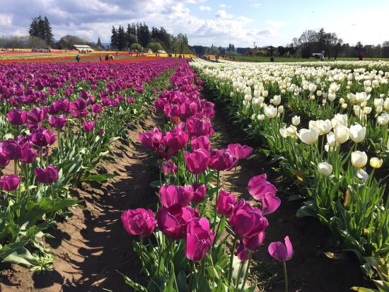 Wooden Shoe Tulip Farm : Just a glimpse of the fields.