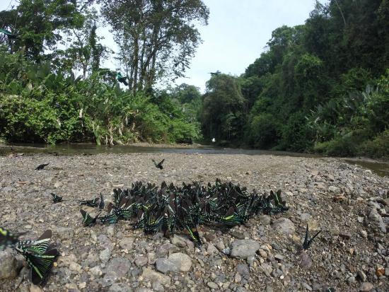 Drake Bay, Costa Rica: Swallow Tailed Moth MIgration. Rio Agujitas 2015