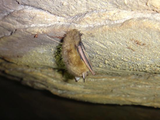 Hurricane River Cave: Bat