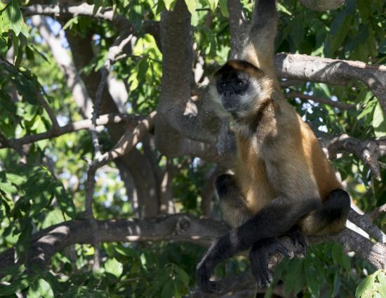 Central American Tours: Spider monkey