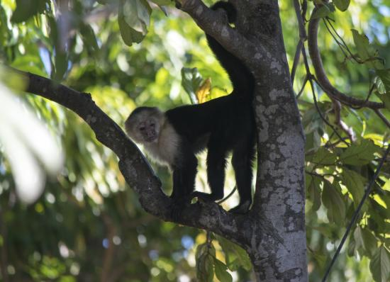 Central American Tours: White-faced monkey