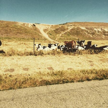 Santa Ynez Valley: Cows