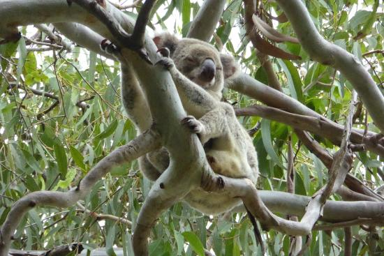 Noosa, Australien: Don't forget to check the trees above the walks for Koala