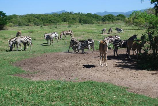 Cuixmala: HERD OF ZEBRAS AT PLAY