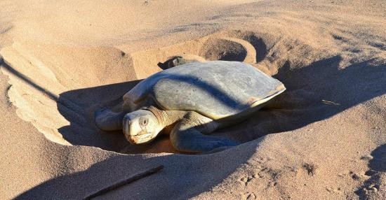 Остров Тевенард, Австралия: Flatback Turtle Laying