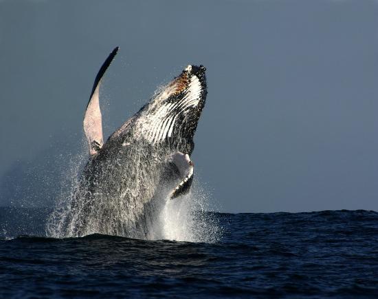 Остров Тевенард, Австралия: Breaching Humpback Whale