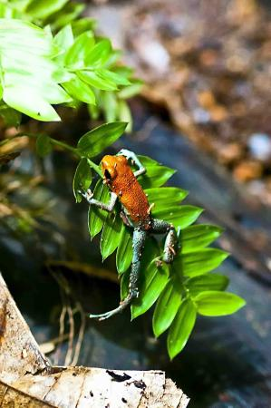 Rambala, Panamá: Strawberry Dart Frog