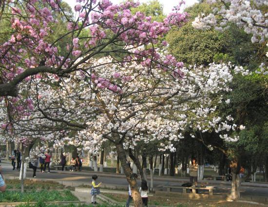 Cheery Blossom In Pingba Farmland Anshun City Guizhou Province