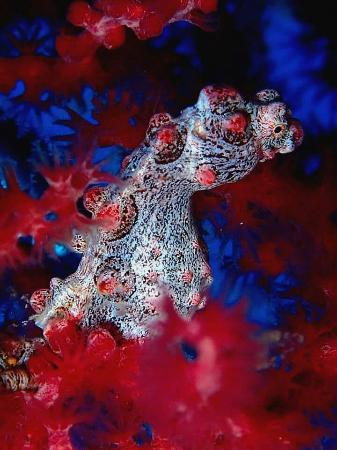 Siladen Island, อินโดนีเซีย: Bargibanti pigmy sea horse at siladen
