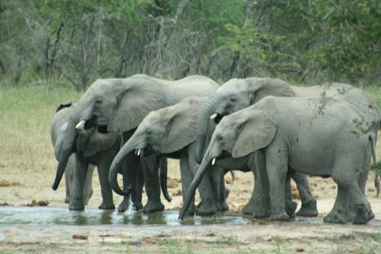 Centurion, South Africa: Elephants drinking