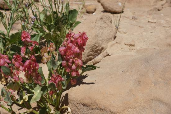Zaatar - Israel Walking Tours : Flowers in the Negev Desert