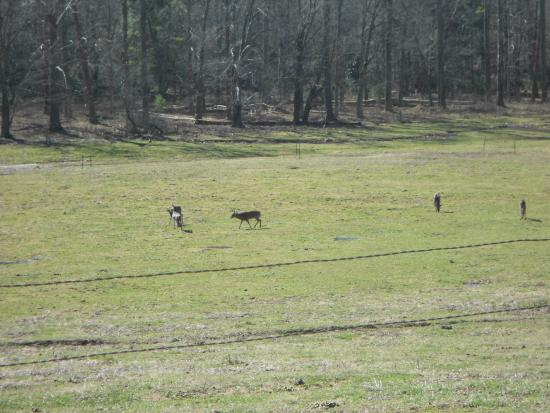 Cades Cove Visitor Center: Some of the deer