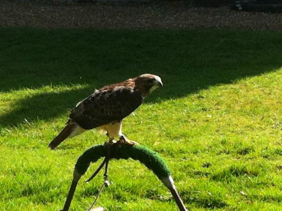 West Sussex Falconry: Harris hark
