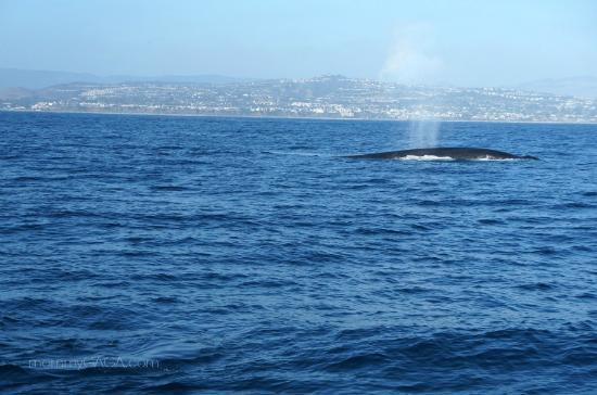 Dana Point, كاليفورنيا: Blue whale comes up for air at Dana Point