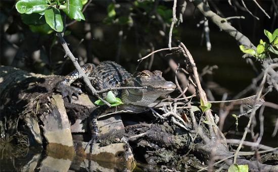 Kayaks & Stuff of the Treasure Coast: Alligator working on his tan