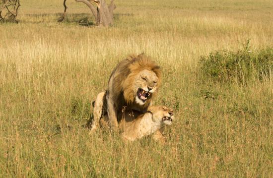 Singita Sasakwa Lodge : Lion Love