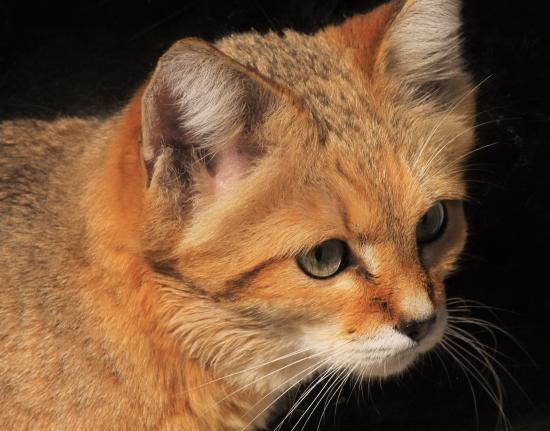 sand cat so cute picture of exmoor zoo barnstaple tripadvisor