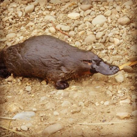 Huon Valley Caravan Park: Platypus