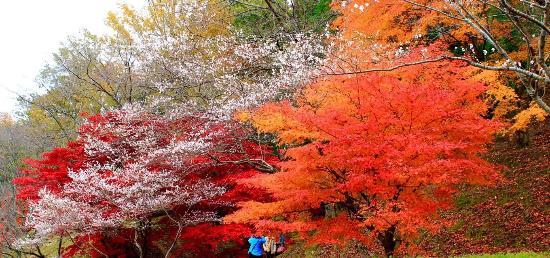 Obara Fureai Park / Shikizakura: まだ5分咲きですが