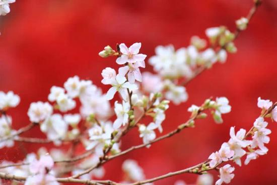 Obara Fureai Park / Shikizakura: 真っ赤なカエデをバックにした四季桜