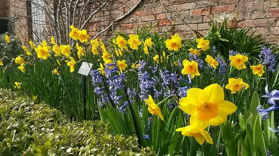 Castle Bromwich Hall Gardens : a host of golden daffodils ...and a 17th century walled garden
